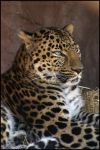 Leopard 006 by ShineOverShadow