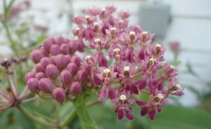 Swamp Milkweed by Loffy0