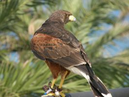Aguila by Gigy1996