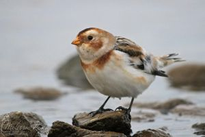 Snow Bunting by mydigitalmind