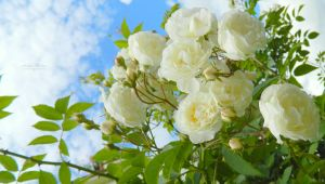 white roses by florina23
