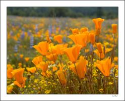 Wildflowers II by SLOShooter