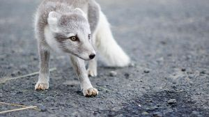 Polar fox iceland by Mathieustern