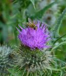 Flower of Scotland by fourteenthstar