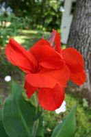 Red Canna Lily 001 by poeticthnkr