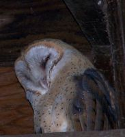 Barn Owl by sevenwillow