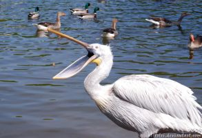 Pelican: Come on, fishie by Allerlei