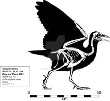 Yanornis Skeleton by Franz-Josef73
