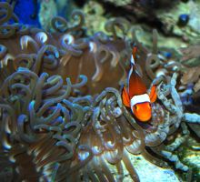 clown fish and anenome by Sakonige
