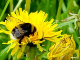 Bumble Bee on a Dandelion by Carnaga