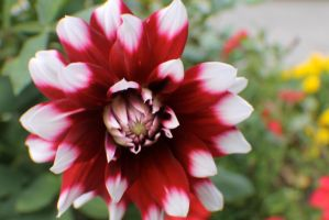 Red and White Dahlia by Darklordd