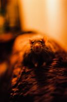 Lazy Rodent by Kaltenbrunner