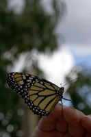 Butterfly IV by LadyRStock