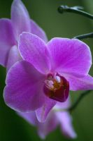 purple orchid by cheah77