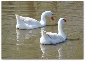 Geese on the Lake by SalemCat