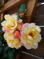 rose 'moonlight' 1 of 2 by cactusmumkate