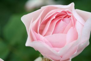 Rosey Rose by LMPPhoto