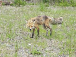 red fox 25 by nevertoolate-stock
