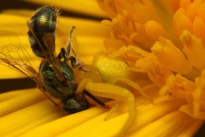 Crab spider killing bee by gmazza