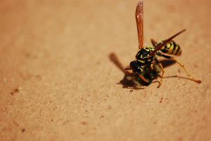 Wasp eating by aradilon