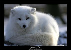 Arctic Fox by tyranus82