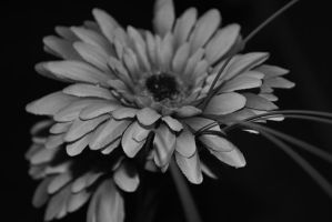 Black and white beauty by Izzy-Nightshade