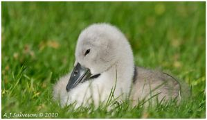 Cygnet by andy-j-s