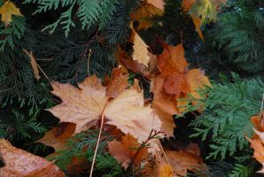 ceder boughs and maple leaves by Ivixx