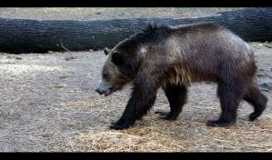Akron Zoo Grizzly Bear by NycterisA