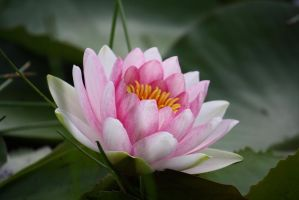 Water lily 3444 by fa-stock