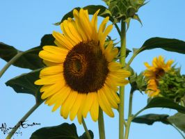 Sunflower II by Ahmed-Emam