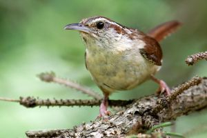Carolina Wren by Jay-Co