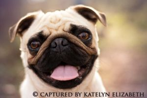 Pug Smile by KateIndeed