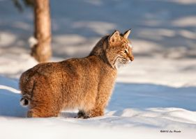 Bobcat 6 by Les-Piccolo