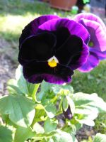 Purple Pansy by Kaysusanelliott