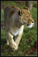 African Lioness by Prince-Photography