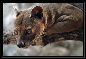 The Fossa Returns by robbobert