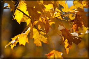 Yellow Leaves by tylerscottsmith