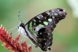 Butterfly drinking nectar by xdattax