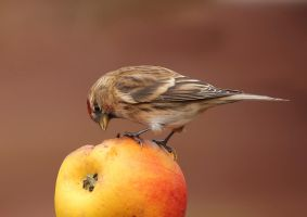 You are the apple of my eye - Lesser Redpoll by Jamie-MacArthur