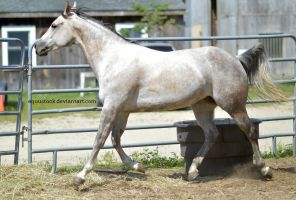 Grey quarter horse trot by equustock
