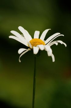 Oxeye daisies 02 by Golden-Plated