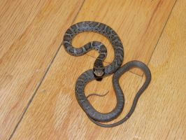 Snake- black racer juvie by redtailhawker