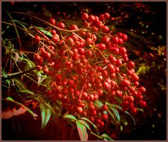 Berries in back yard by Tailgun2009