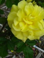 Yellow Rose of Texas by my-dog-corky