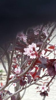 Cherry blossoms at ECU by Roses-and-Feathers