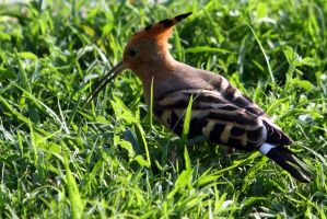 Egypt Hoopoe by Ironpaw