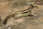 Squirrel 1 - Red Fort, Delhi by wildplaces