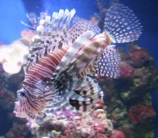 Lion fish by yellow-jester-kitty