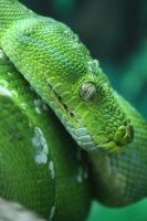 Green Tree Python by EdgedFeather